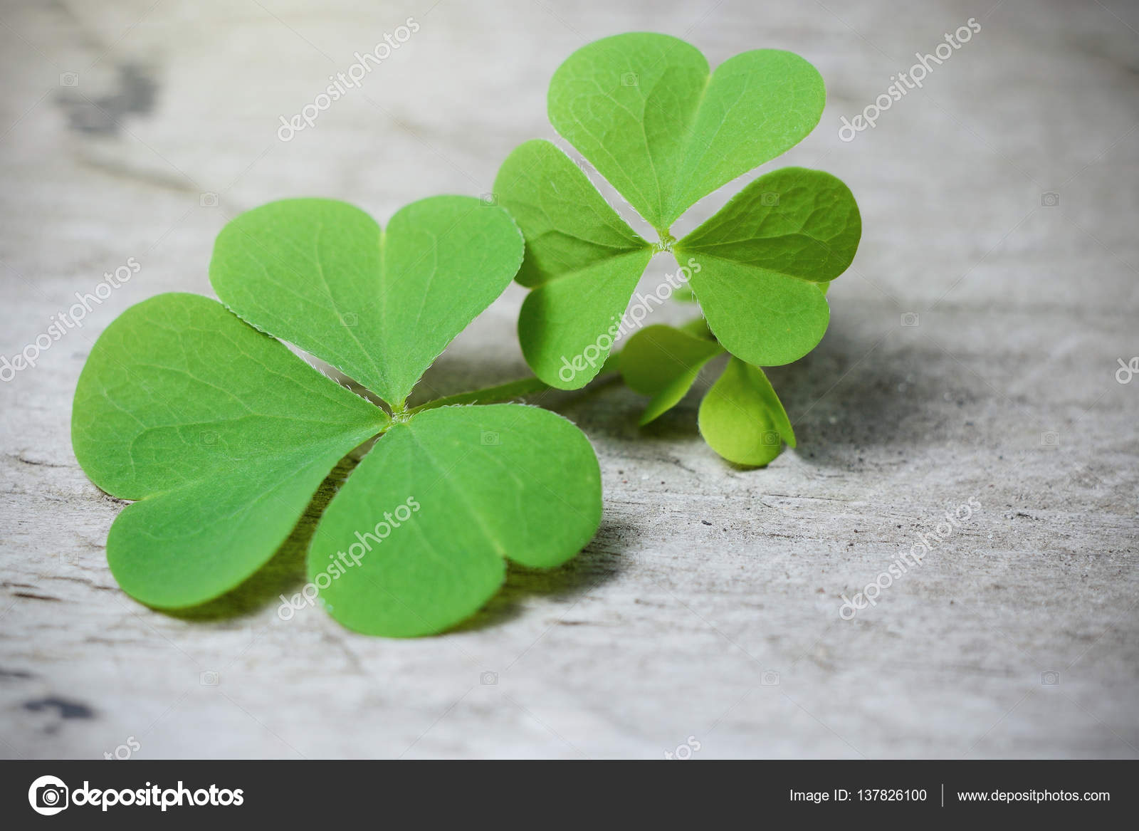 Macro three leaf clover on rustic wooden table shamrock plant is shamrock plant is a symbol of luck or st patricks day ireland national symbol photo by anutaray biocorpaavc Gallery