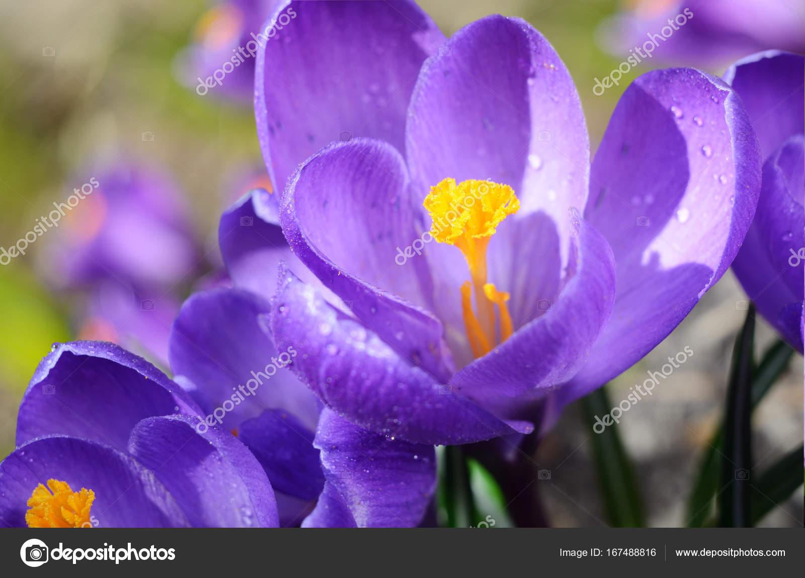 Beautiful first spring flowers crocuses bloom under bright sunlight beautiful first spring flowers crocuses bloom under bright sunlight spring holidays backdrop stock photo mightylinksfo