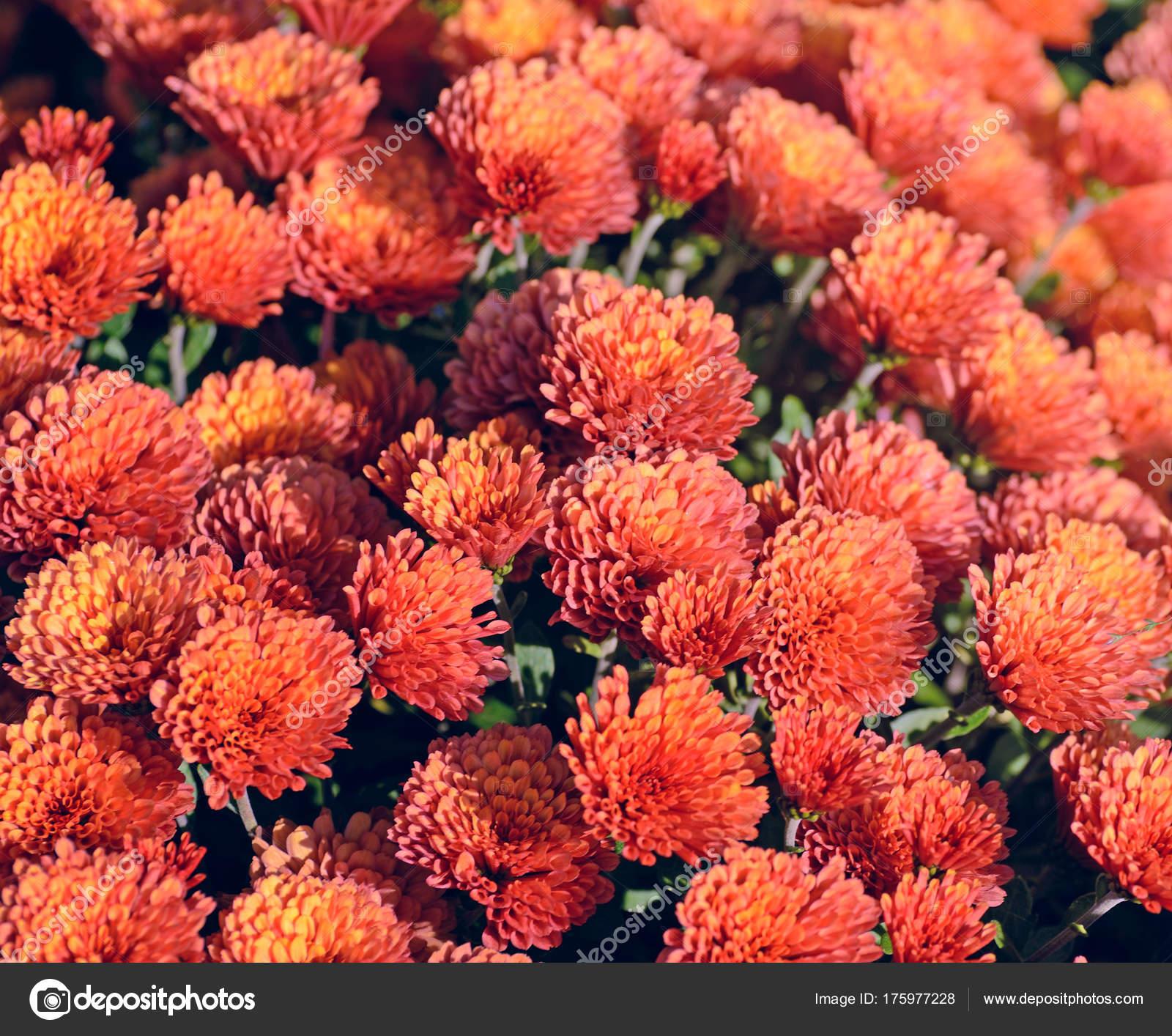 Chrysanthème rouge. Belle fleur automne dans un décor de jardin ...