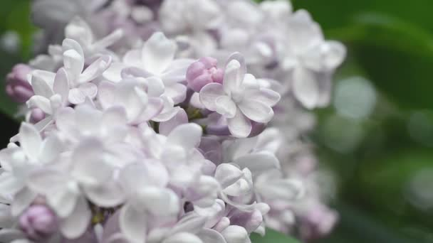 Gentle light flower of lilac in a spring garden