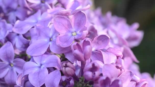 Jemný světelný květ lila v jarní zahradě