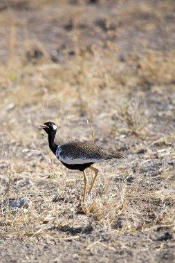 Lonely bird in Etosha national park, Namibia Africa