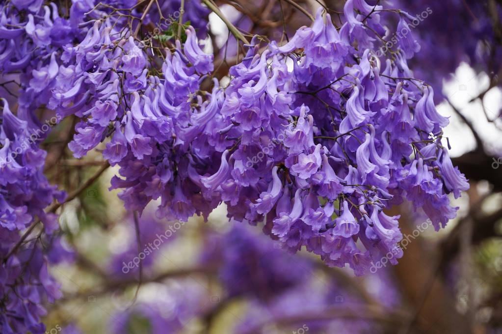 Fleurs De Jacaranda Au Printemps L Afrique Du Sud Photographie