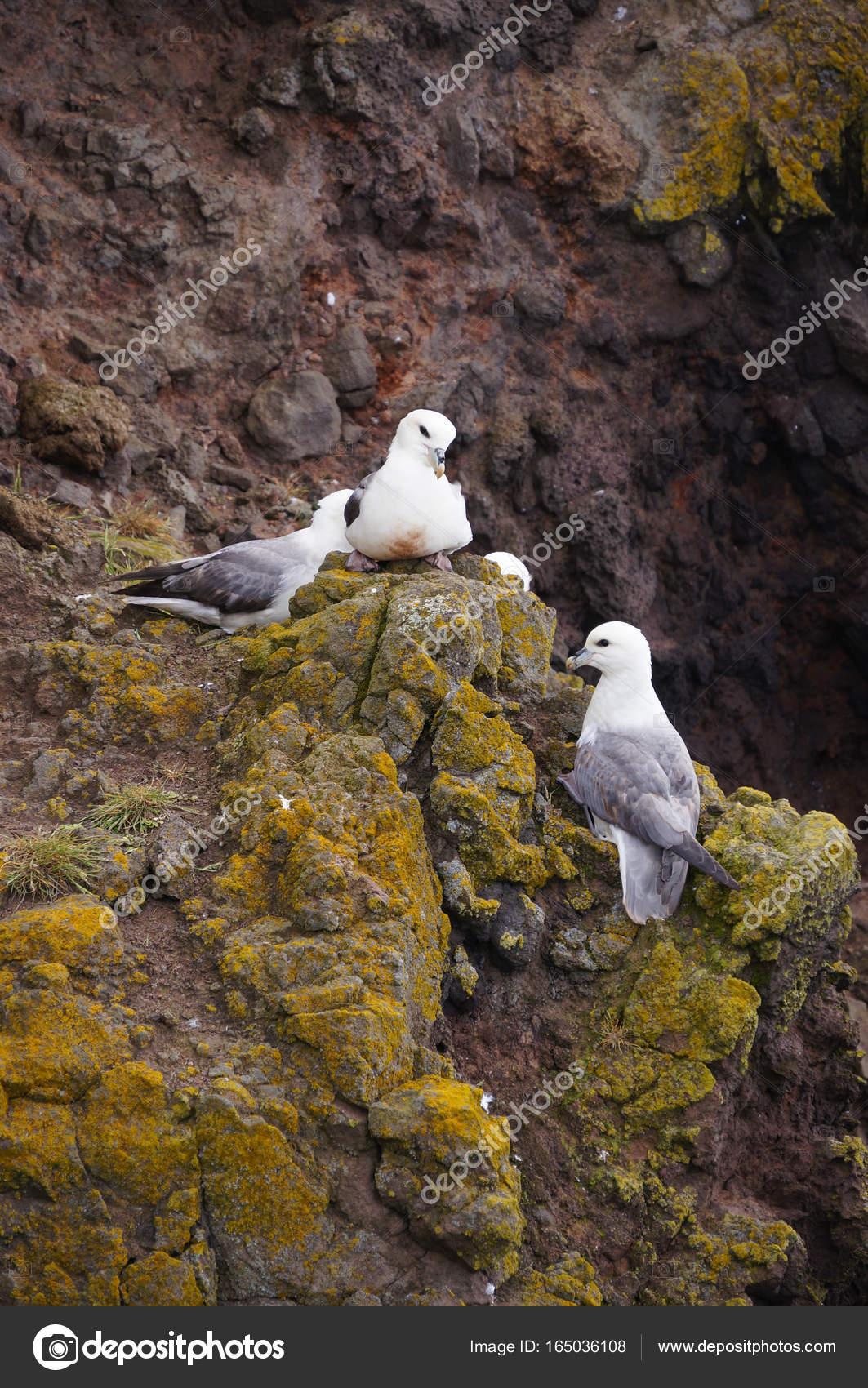 Seagulls nest on Latrabjarg cliffs, Iceland — Stock Photo