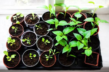 Seedlings in spring on windowsill