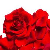 Fényképek Piros rózsaszirom textered háttér elkülönített fehér háttere
