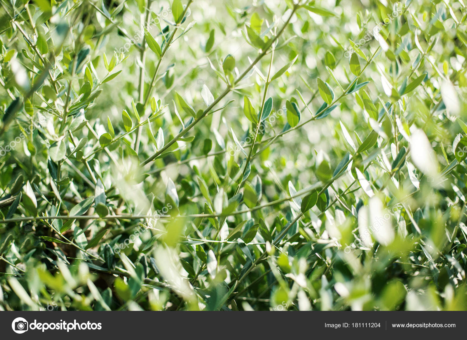 Olive Tree Leaves Spring Nature Background Olive Trees Branche