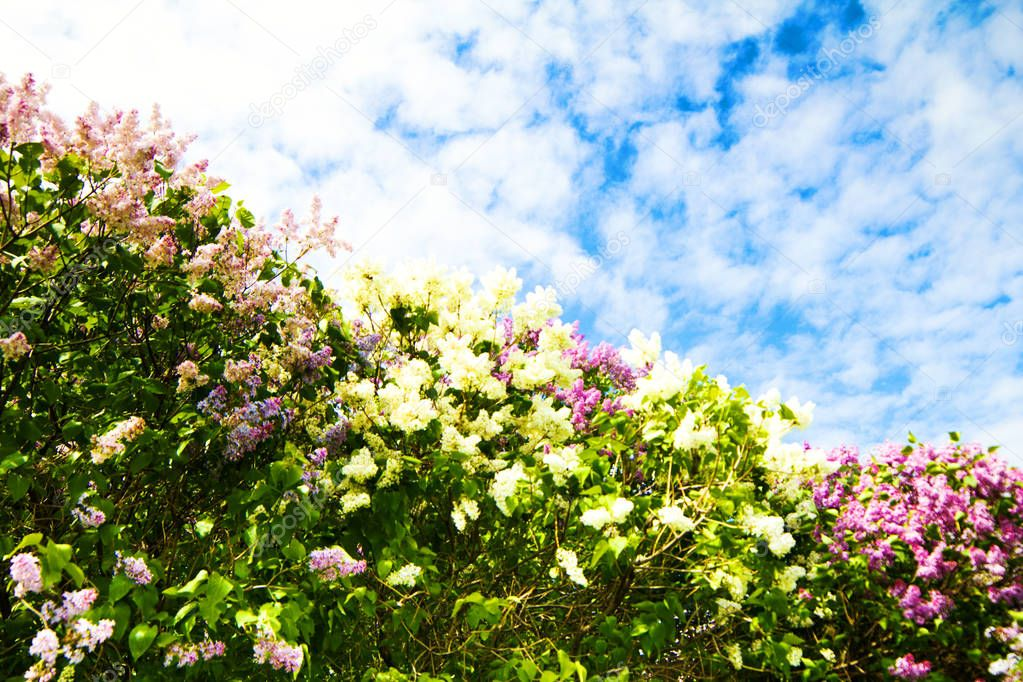 Spring flowers. Branch of lilac flowers with the leaves in a park, outdoor with blue sky