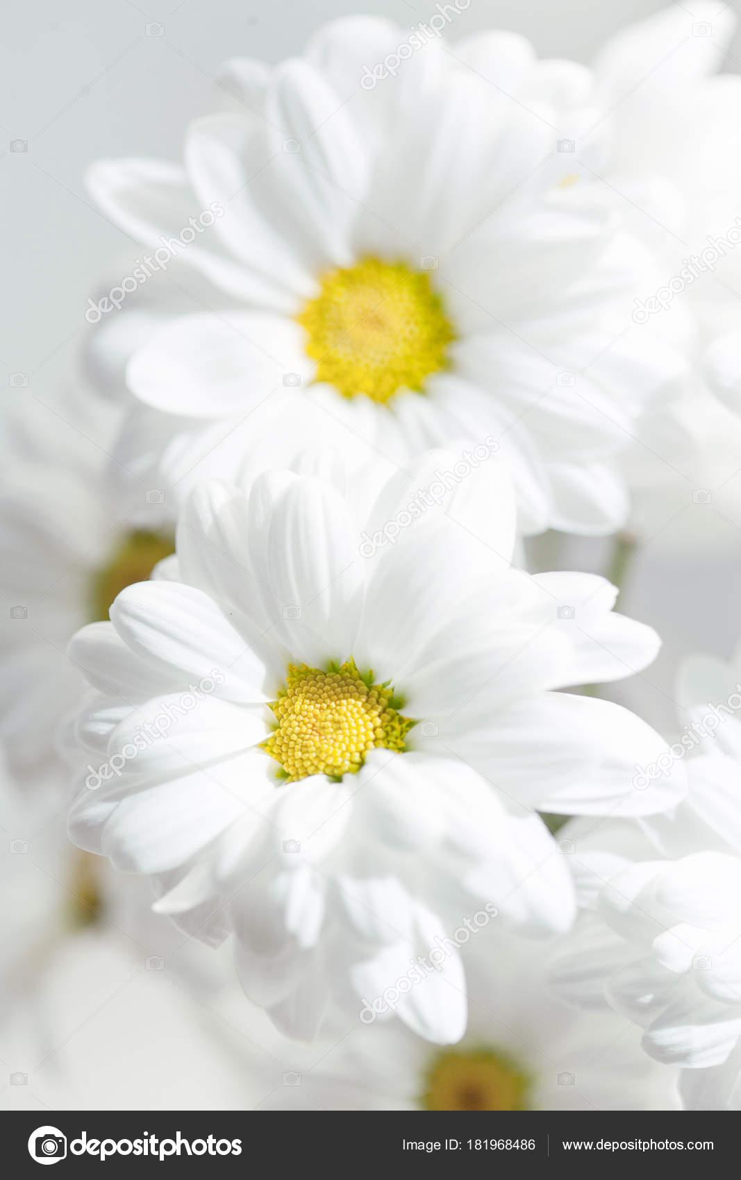 Spring flowers wallpaper white gerbera flower daisy flower grey spring flowers wallpaper white gerbera flower daisy flower grey background stock photo mightylinksfo Choice Image
