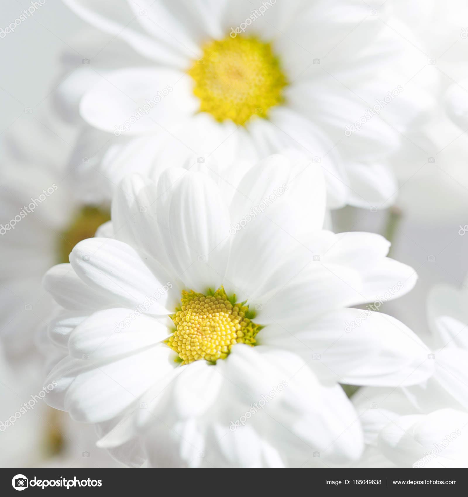 Spring flowers wallpaper white gerbera flower daisy flower grey spring flowers wallpaper white gerbera flower daisy flower grey background stock photo mightylinksfo
