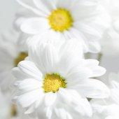 Fotografie Spring flowers wallpaper. White  Gerbera Flower or Daisy flower on grey background close up