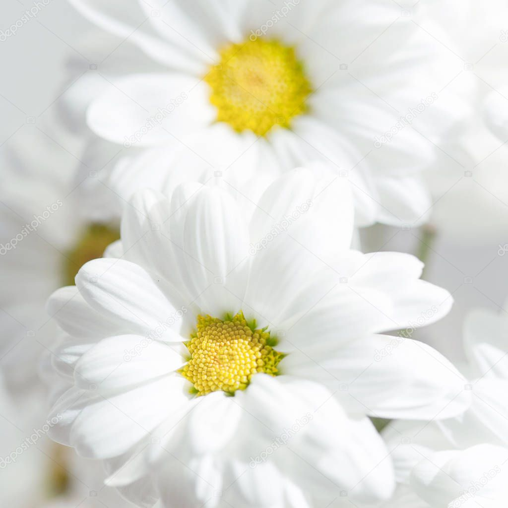 Spring flowers wallpaper. White  Gerbera Flower or Daisy flower on grey background close up