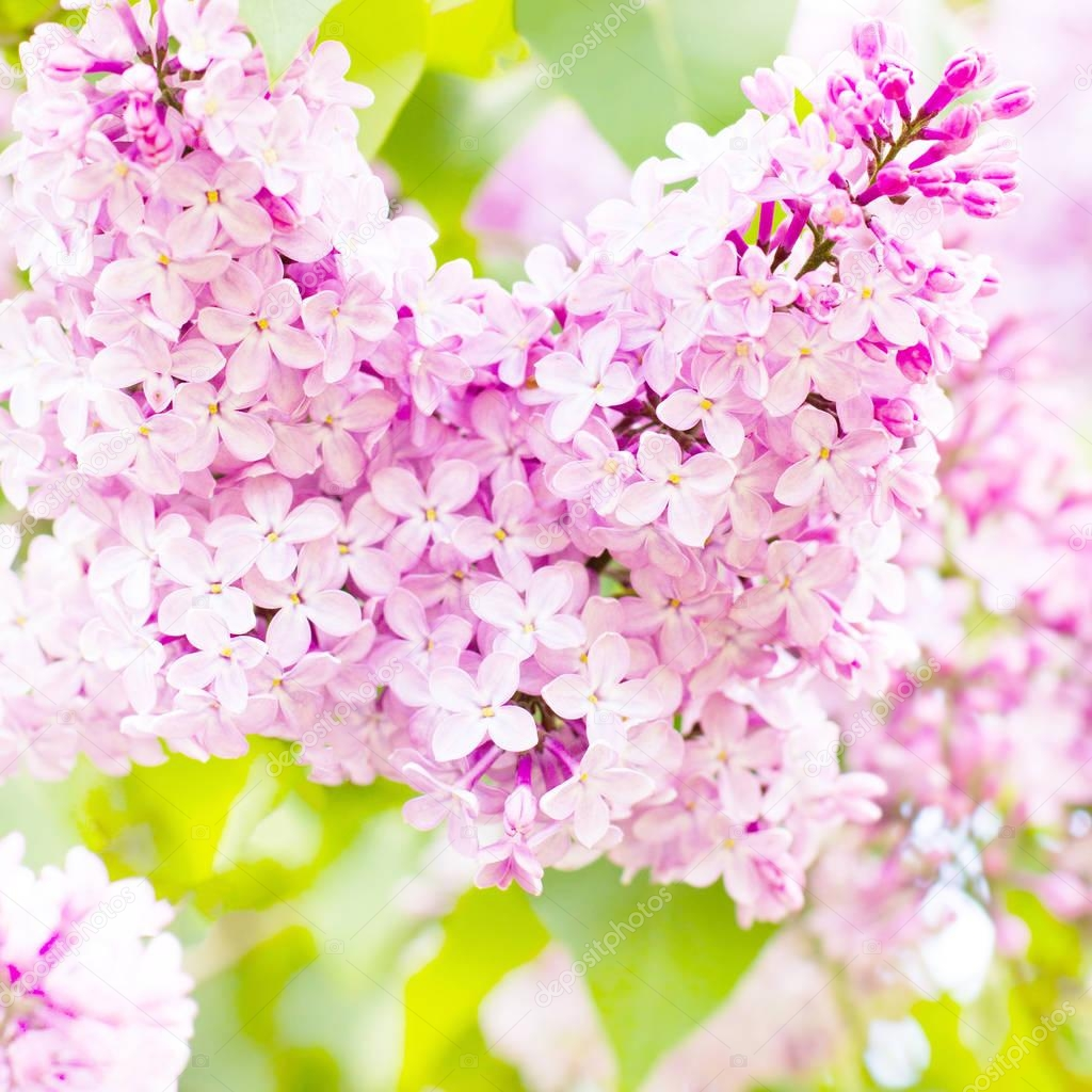 Spring  beautiful flowers. Branch of lilac flowers with the leaves. Macro photo