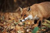 Fox na podzimní les