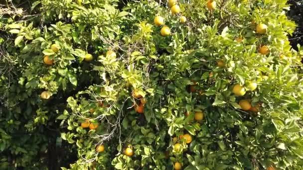 Fresh tasty tangerines grow on a tree plantation