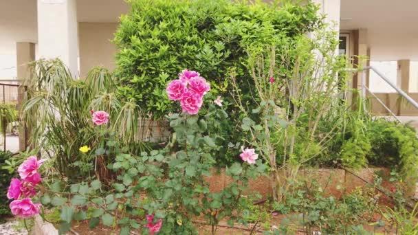 Krásné lezení Rose Angela roste v záhonu u domu