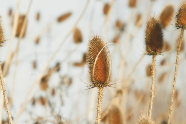 Dry thistle at the autumn. Thistle is a flowering plant in the family Asteraceae.