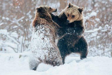 Bear cubs playing in snow.