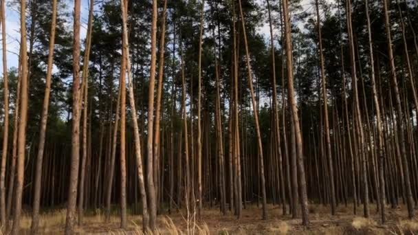 Green pine forest, side view. Tall, beautiful pine trees against the blue sky. Picturesque autumn forest landscape. Concept: forest air, walk in the forest, ecology
