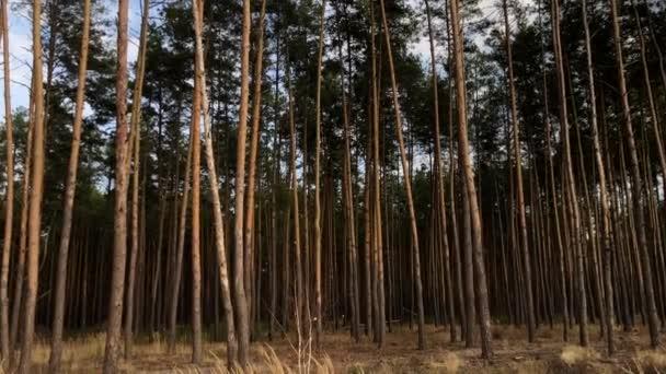 Zelený borovicový les, pohled z boku. Vysoké, krásné borovice proti modré obloze. Malebná podzimní lesní krajina. Koncept: lesní vzduch, procházka lesem, ekologie