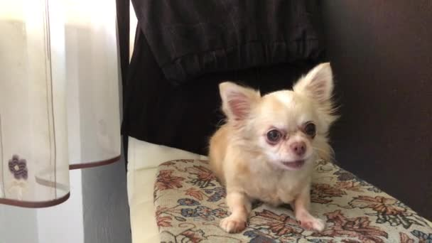 Chihuahua breed dog on a dark background. A small thoroughbred dog lies on the litter. White smooth-haired dog with big eyes.