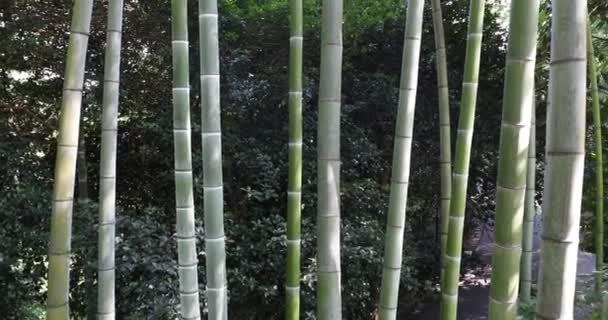 Panning přes bambusové stromy v botanické zahradě.