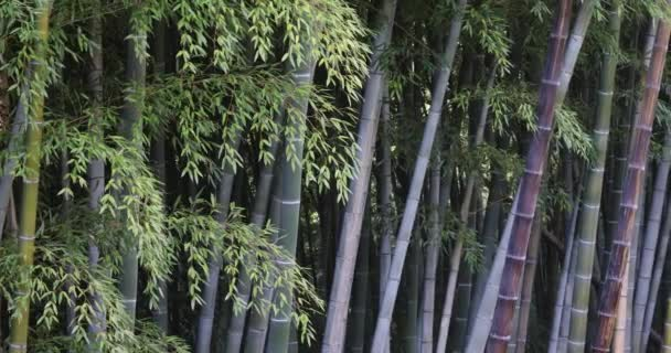 Green Tall Bamboo Trunks Swaying In Wind