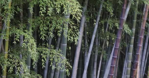 Zelené vysoké bambusové kmeny kymácející se ve větru