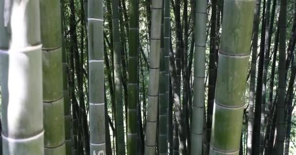Panning Across Bamboo Trees In Botanical Garden.