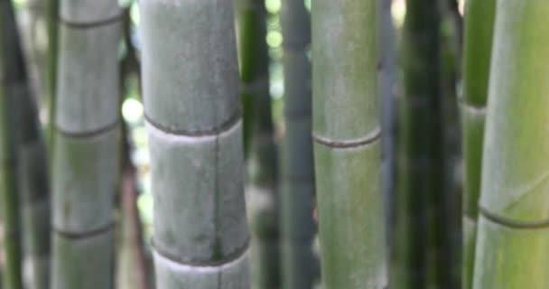 Bamboo Trees In Botanical Garden.