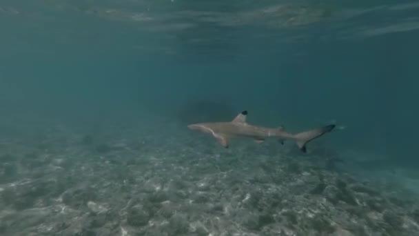 Kleiner Hai schwimmt im türkisfarbenen Meer der Malediven