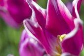 Makro lövés holland tulipán ballada valami homályos háttérrel. A Keukenhof Nemzeti Park