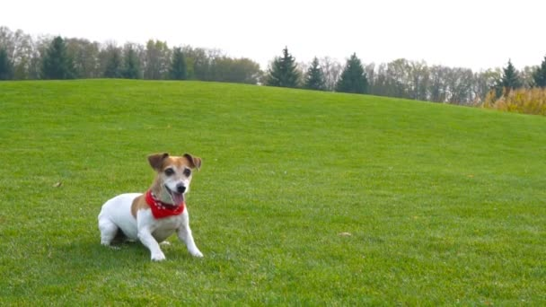 Active lovely Jack Russell terrier