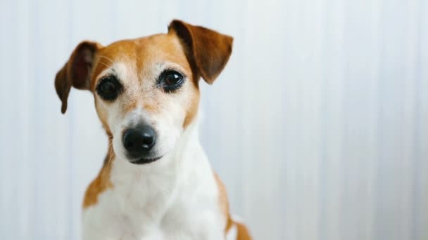 Adorable dog Jack Russell Terrier listens attentively and shakes head and licking.