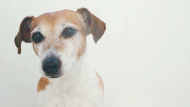 Sunny summer dog Jack Russell terrier