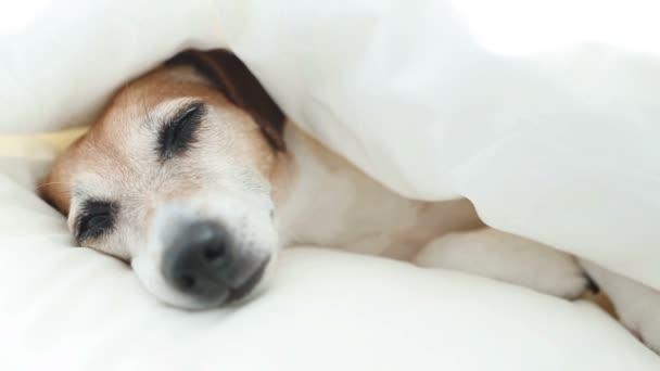 lustige schöne Hündchen schlafen auf dem weißen Bett.