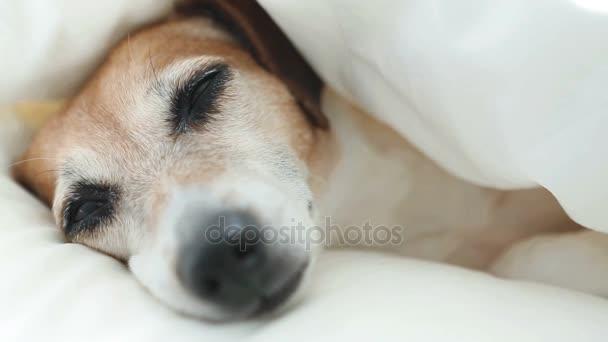 Hundeschnauze schnaubt und schläft auf einem weißen, gemütlichen Heimbett.