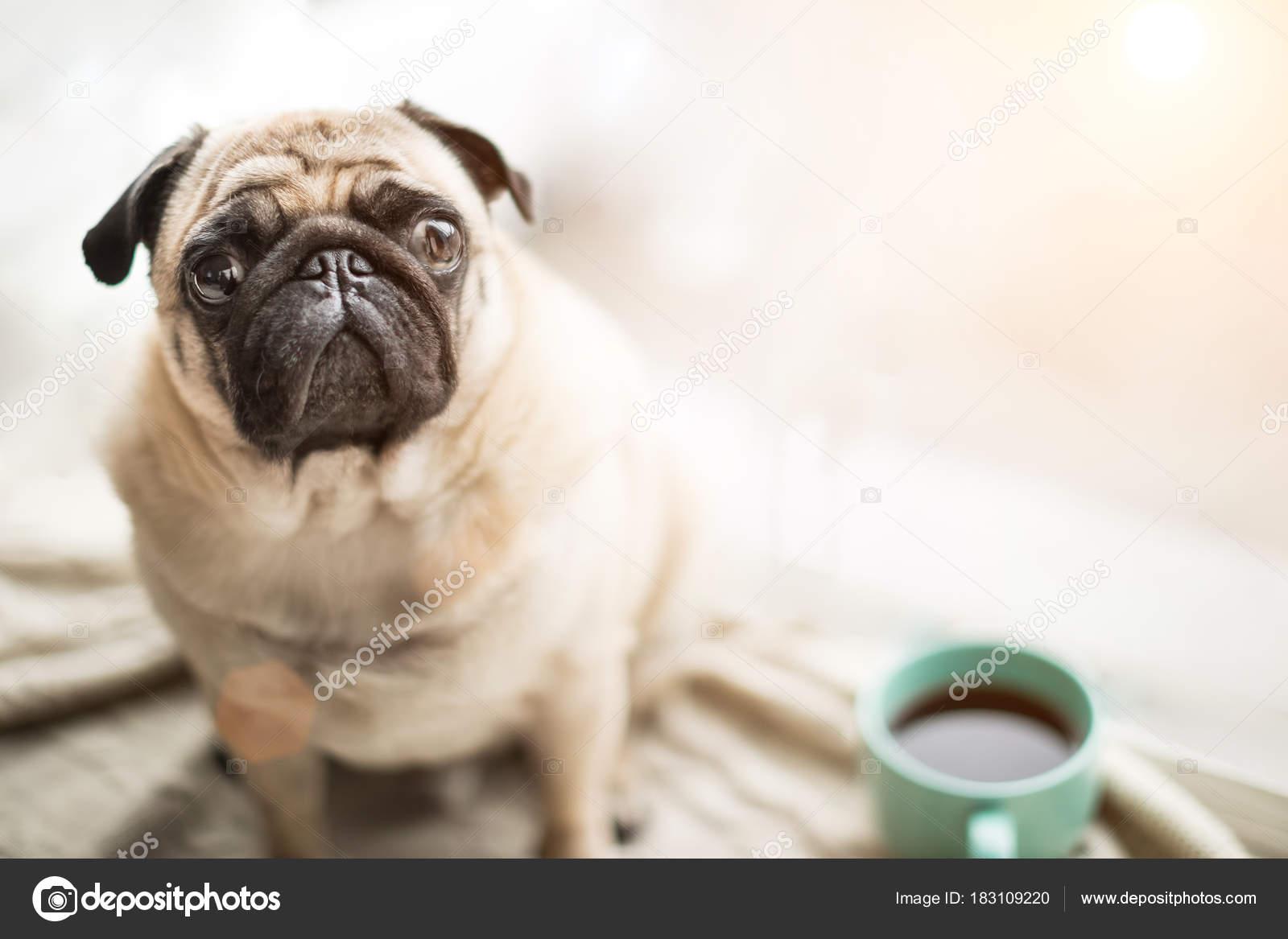 Imagenes Caras De Perros Chistosas Cara Bonita De Mascotas Pug