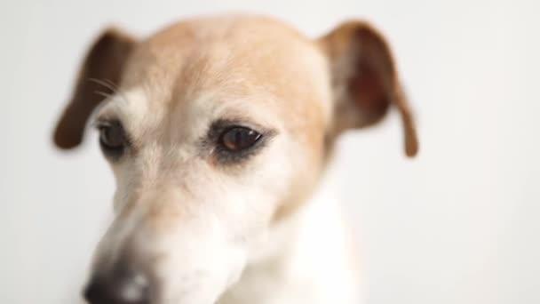 Imádnivaló kis kutya néz a kamerába. Jack Russell terrier portré kis mélységű mezővel. Videofelvétel