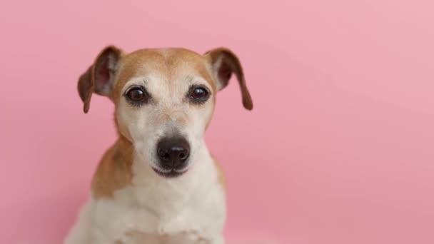 Šťastný pes zblízka portrét. Jasně růžové dívčí pozadí. psí tlama uvolnila šťastné oči. kancelářský pracovník. nosí košili a motýlka a doplňky. Dress code party