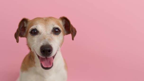 Pinke Farbe Hintergrund. Schönes Hundeporträt. Glücklich lächelnde Haustierschnauze, die in die Kamera blickt. Weiches Tageslicht. Videomaterial zum Thema.