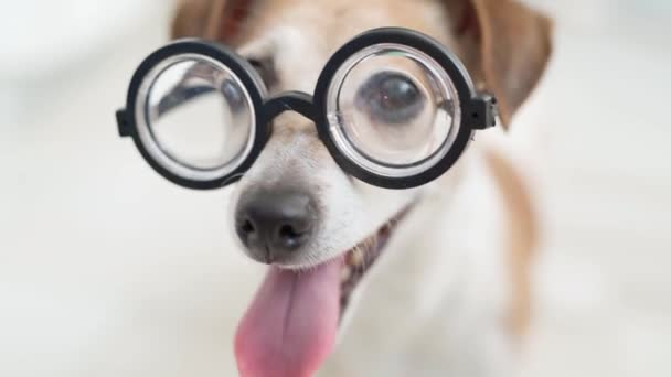 Dog in glasses looking side then looking to the camera Smart nerdy funny dog close up portrait Open mouth tongue out Video footage Indoors soft daylight Light room Shallow depth of field Excited smile