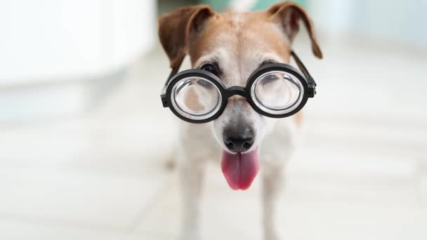 smart nerd dog in glasses looking to the camera. joyfully wags its tail. Open mouth tongue out. Video footage animal theme. Indoors soft daylight. Light room. Happy smiling dog office worker. Student