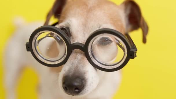adorable nerd dog nose and eyes in glasses.  video footage. Bright yellow background. Pet Jack russell terrier. Dog looking sad attentive and curious. Vision theme video footage.