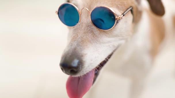 Großaufnahme Porträt des kleinen weißen Hundes Jack Russell Terrier mit blauer Sonnenbrille. Offener Mund atmet und lächelt. Liebenswertes glückliches Haustier mit modischen Accessoires. Machen Sie sich bereit für Sommer und Urlaub. Video