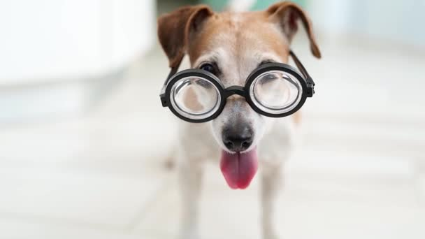 adorable dog in glasses. Happy tail. waiting for game playful mood. Happy smiling dog. shallow depth of field. Video footage