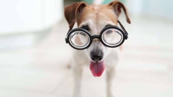 imádnivaló kutya szemüvegben. Boldog farkat. Várom a játékszerű hangulatot. Boldog mosolygó kutyát. sekély mélységélesség. Videofelvétel