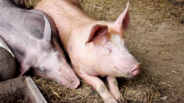 Pigs lie in the barn and rest after an early meal. Two pigs in a home farm.