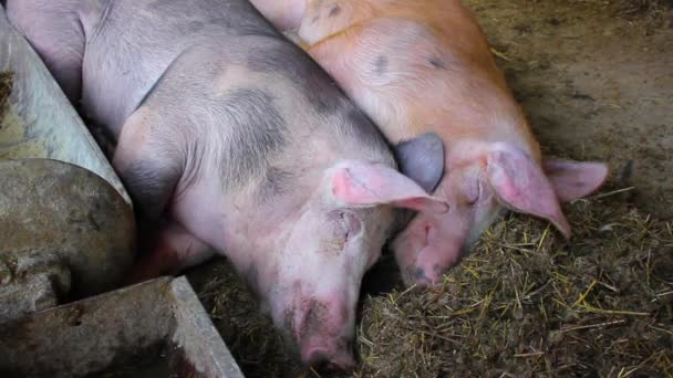 Pigs on a farm are shivering with cold while sleeping. Morning rest of animals in the barn.