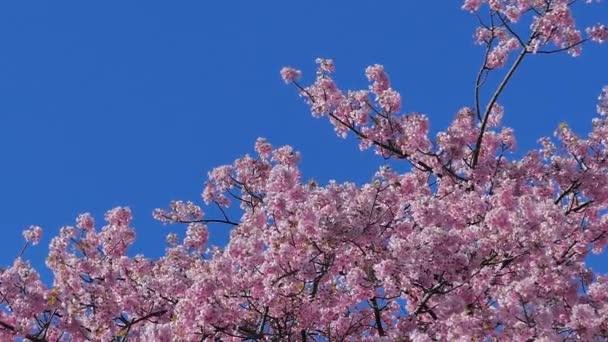 Park na vrcholku hory v Japonsku. Můžete vidět moře, hory, třešňové květy a čajová pole.